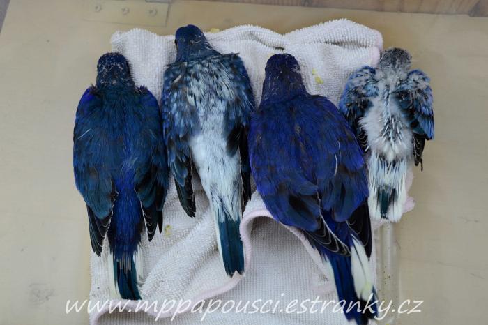 1 0 blue sf violet 0 1 blue df violet opaline 1 0 blue df violet and 0 1 blue sf violet opaline