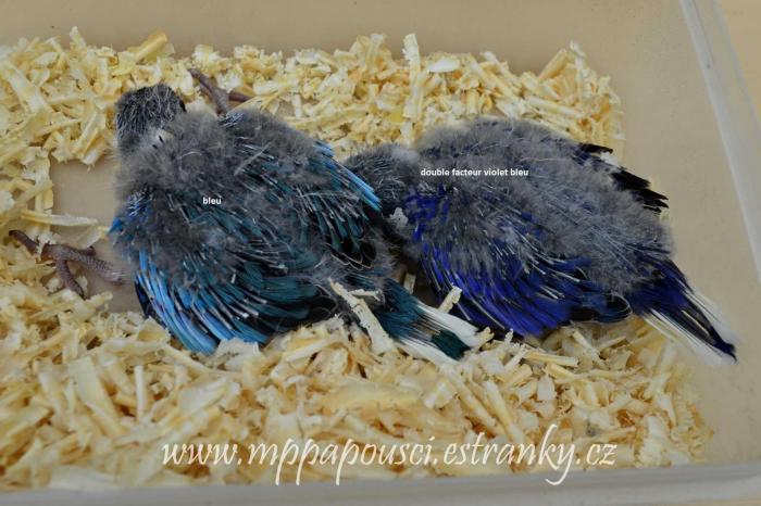 bleu & double facteur violet bleu