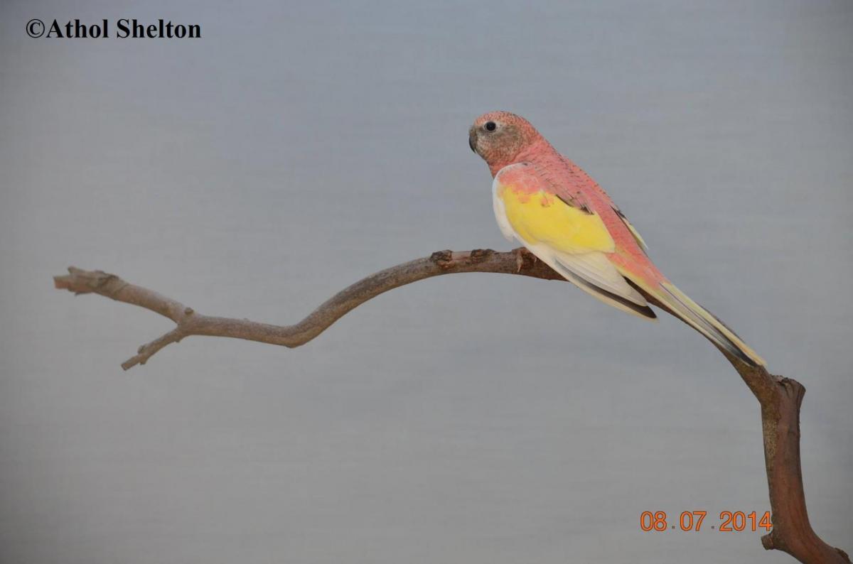 Opaline Panaché(Australie)