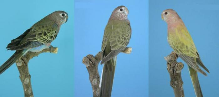 type sauvage (gauche) fallow (millieu) pâle fallow (droite)