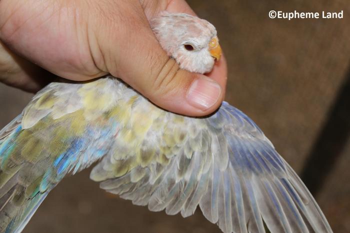 jeune mâle bourke pâle fallow