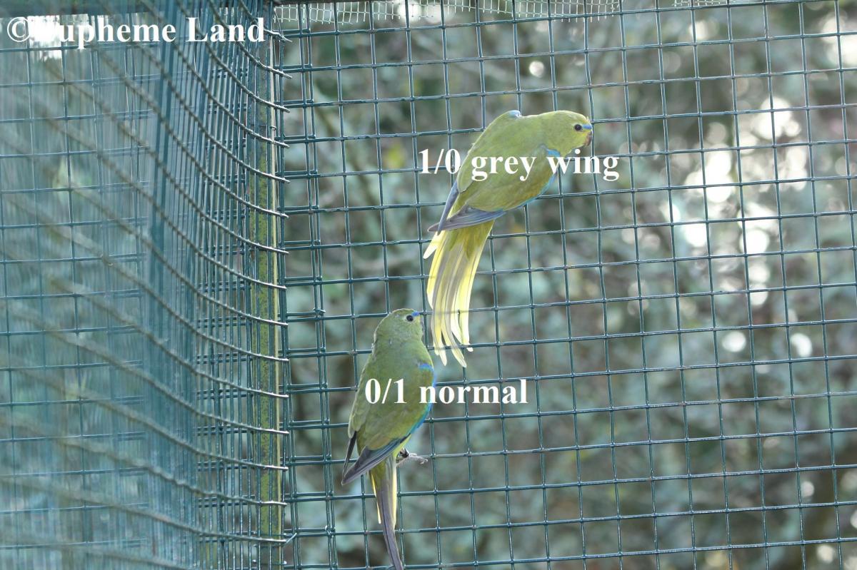 comparaison elegante aile grise & normal