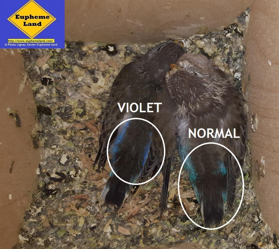 normal & violet