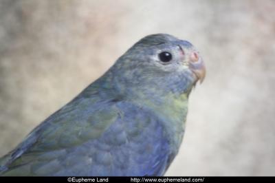 suffusion bleue