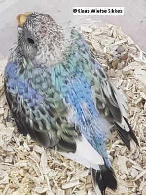 Panaché (pied) BS (sélection bleu)