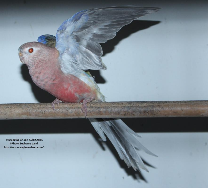 bourke mâle pâle fallow