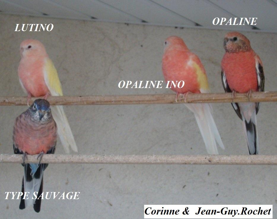 Photos Comparatives  Opaline Ino X Opaline Bourkes Parkiet