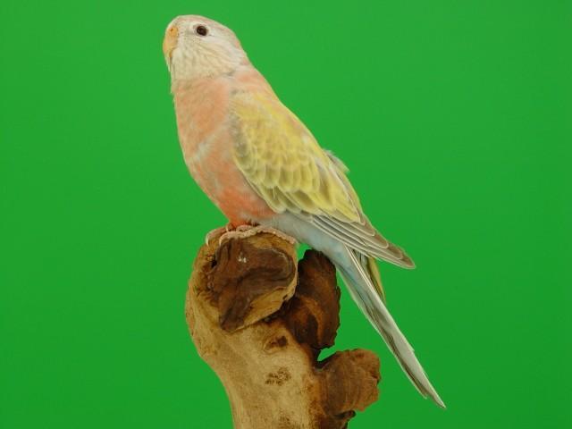 bourke-femelle-pale-fallow-1.jpg