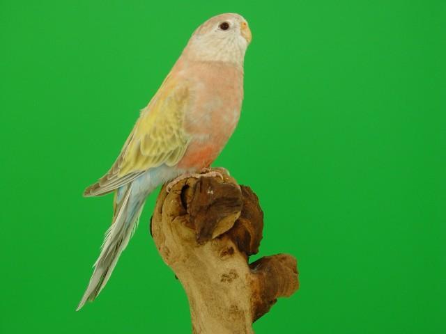 bourke-femelle-pale-fallow.jpg