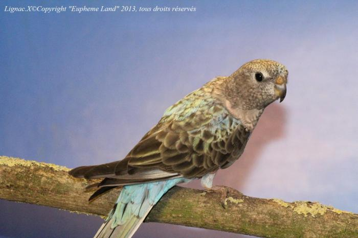 bourke-opaline-bleue-femelle-1.jpg