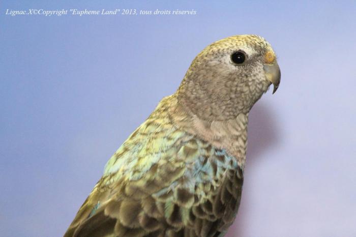 bourke-opaline-bleue-femelle-2.jpg