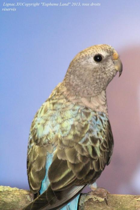bourke-opaline-bleue-femelle-3.jpg