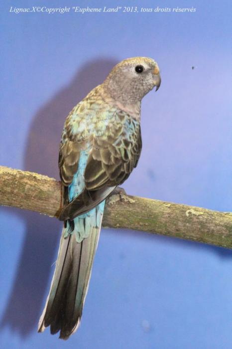 bourke-opaline-bleue-femelle-4.jpg
