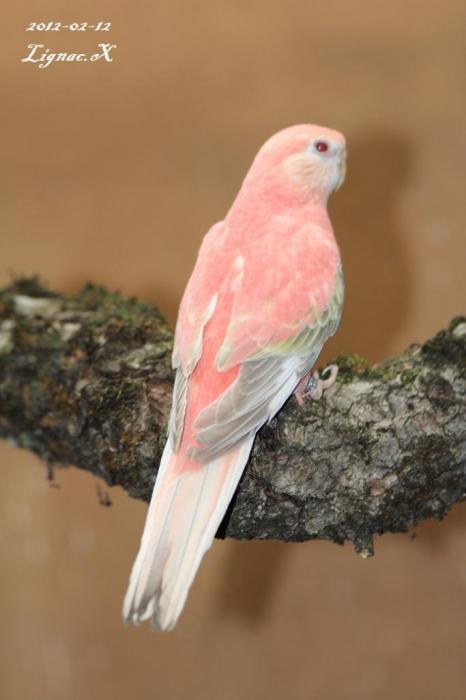 bourke-opaline-pale-fallow-femelle-1.jpg