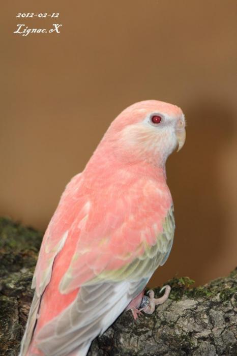 bourke-opaline-pale-fallow-femelle-4.jpg