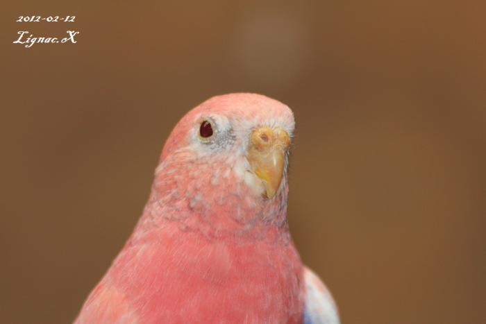 bourke-opaline-pale-fallow-male-2.jpg