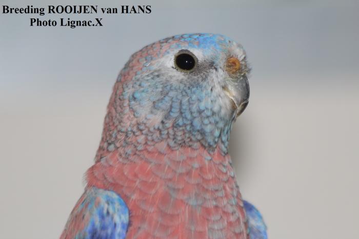 Bourke opaline sélection bleu 1-0