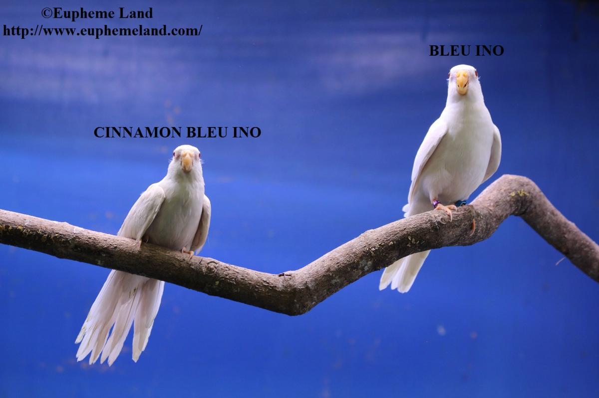 Comparaison albino cinnamon albino 1