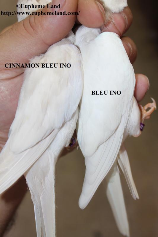 Comparaison albino cinnamon albino