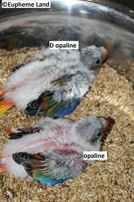 Comparaison D opaline / opaline
