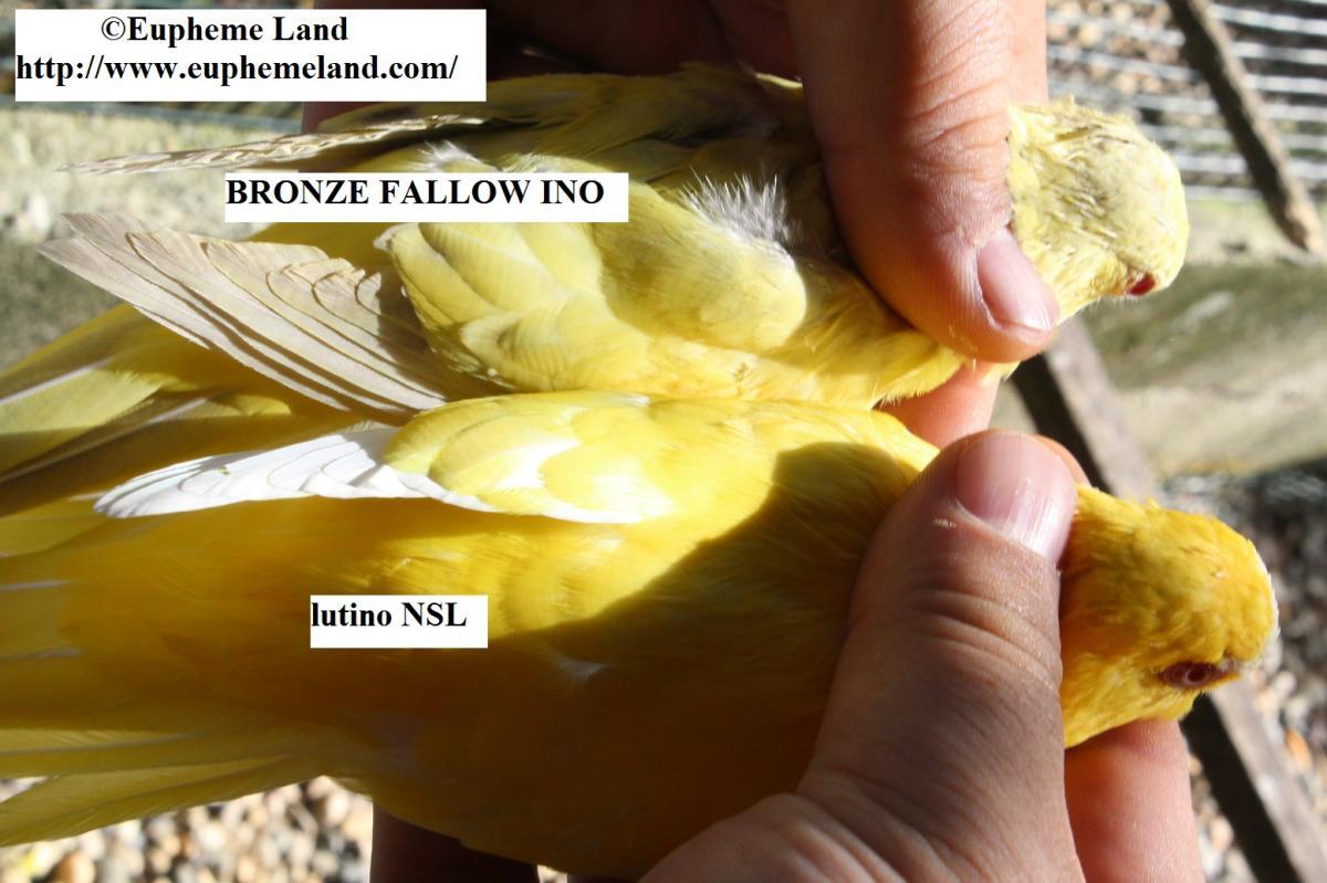 Comparaison lutino&  bronze fallow ino