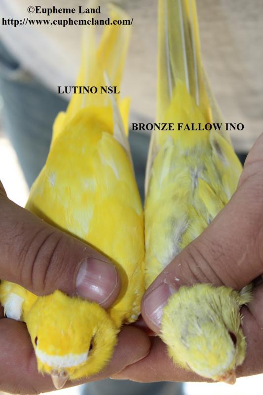Comparaison lutino & bronze fallow ino