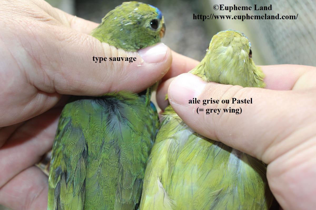 Comparaison normal & aile grise
