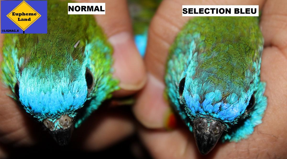 Comparaison normal selection bleu 7