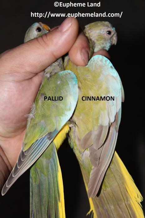 Comparaison pallid cinnamon
