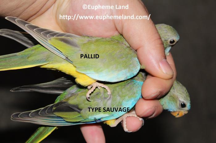 Comparaison pallid sauvage