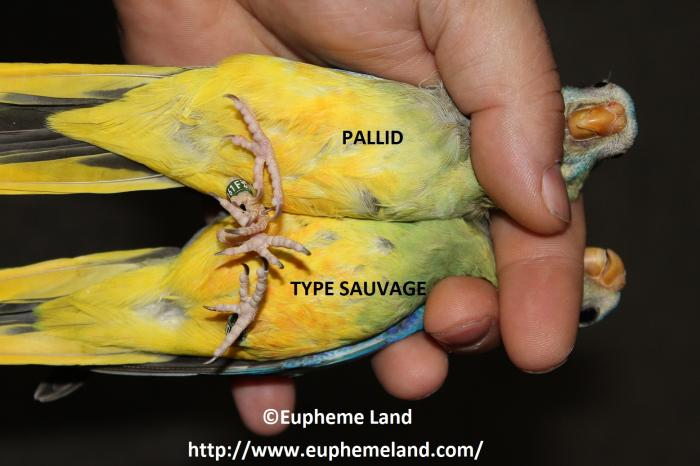 Comparaison pallid sauvage 3