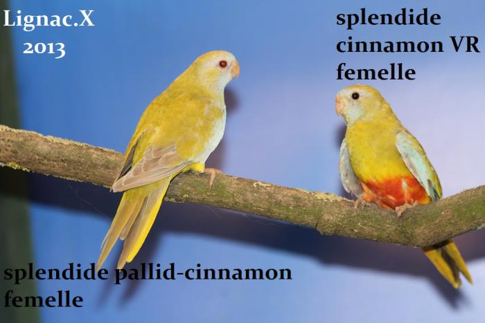comparaison-spl-cinnamon-spl-pallid-cinnamon-1.jpg