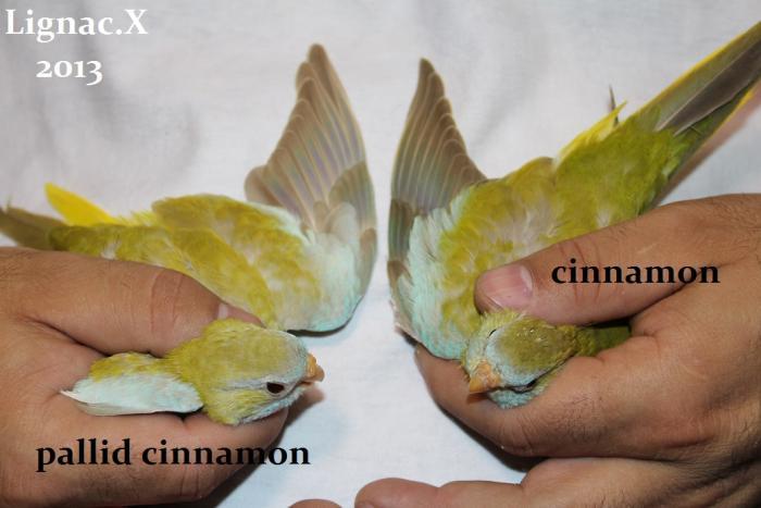 comparaison-spl-cinnamon-spl-pallid-cinnamon-2.jpg
