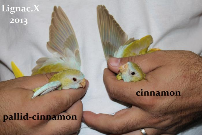 comparaison-spl-cinnamon-spl-pallid-cinnamon-3.jpg