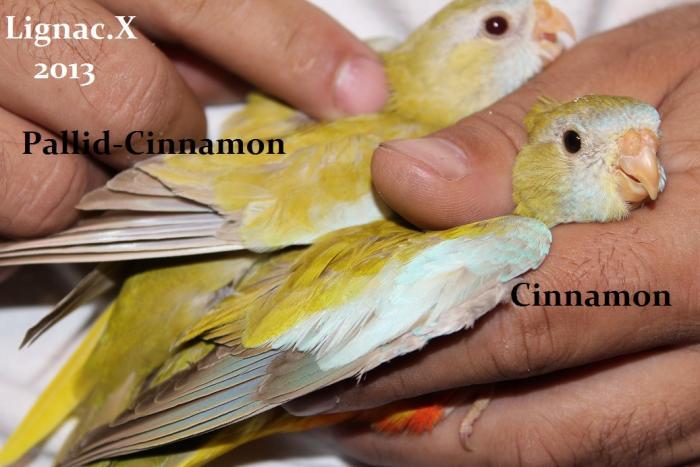 comparaison-spl-cinnamon-spl-pallid-cinnamon-5.jpg