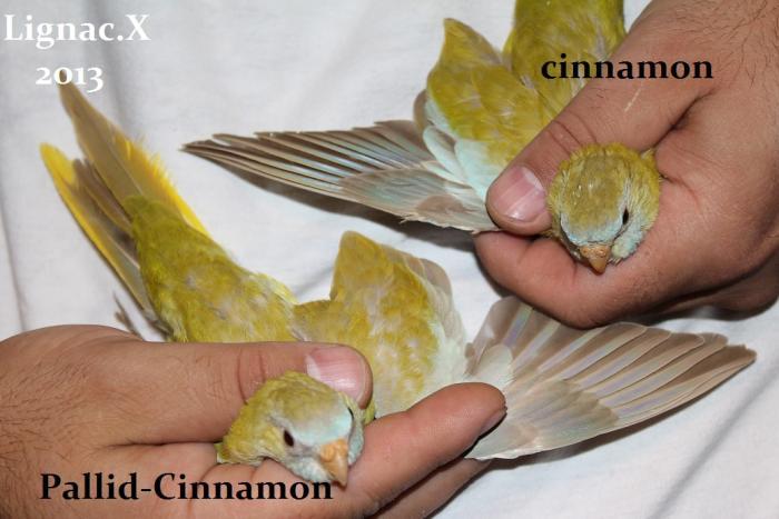 comparaison-spl-cinnamon-spl-pallid-cinnamon-6.jpg