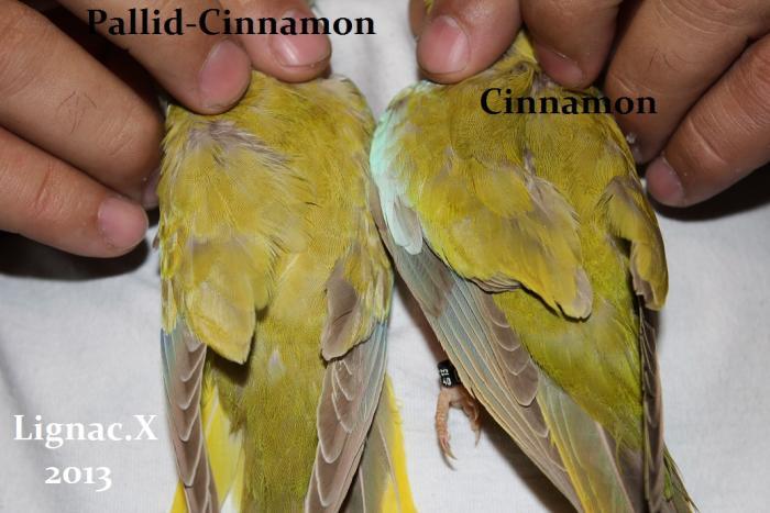 comparaison-spl-cinnamon-spl-pallid-cinnamon-7.jpg