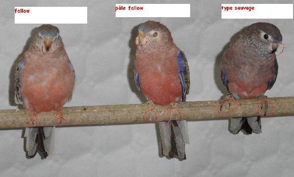 fallow -pâle fallow - type sauvage