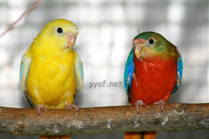 comparatif-de-selection-ventre-jaune-et-poitrine-et-ventre-rouge.jpg