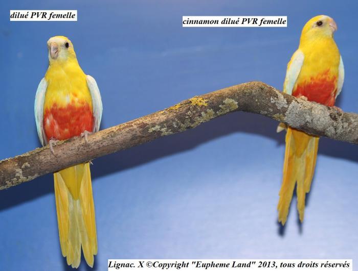 difference-chez-les-femelles-entre-dilue-cinnamon-dilue-1.jpg