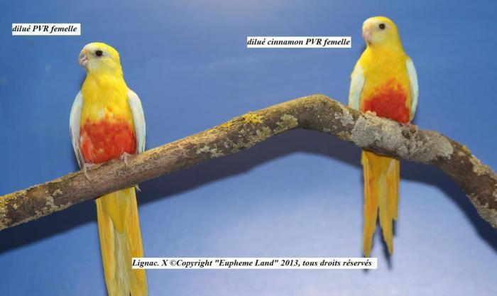 difference-chez-les-femelles-entre-dilue-cinnamon-dilue-2.jpg
