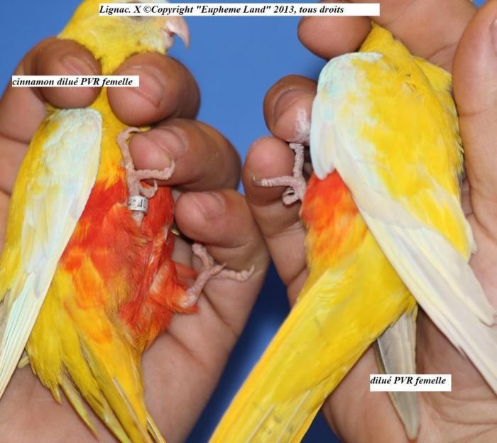 difference-chez-les-femelles-entre-dilue-cinnamon-dilue-6.jpg