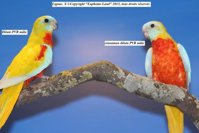 difference-chez-les-males-entre-dilue-cinnamon-dilue-1.jpg