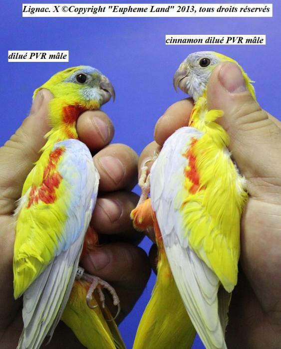 difference-chez-les-males-entre-dilue-cinnamon-dilue-4.jpg