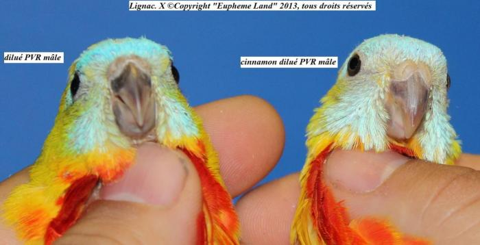 difference-chez-les-males-entre-dilue-cinnamon-dilue-6.jpg