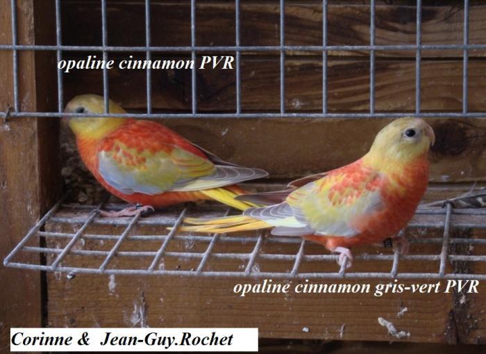 difference-cinnamon-opaline-pvr-femelle-cinnamon-opaline-gris-vert-pvr-femelle.jpg