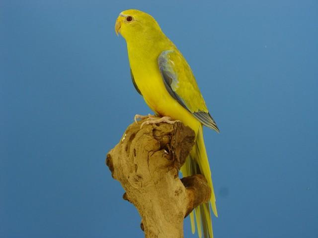 eleg-bronze-fallow-male-1.jpg