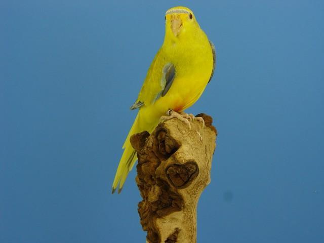 eleg-bronze-fallow-male.jpg