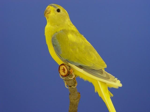 Eleg panache aile grise femelle
