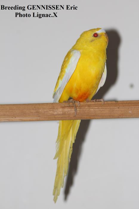 Elegante lutino ventre orange